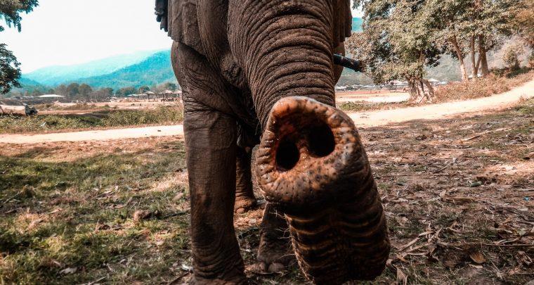Olifanten vertroetelen in een opvangcentrum